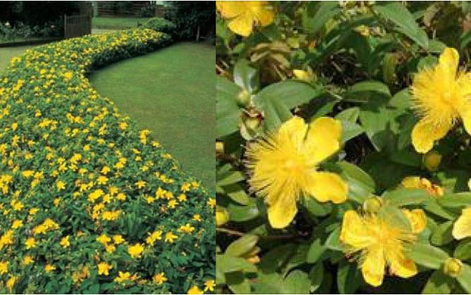 "Hypericum 'Calycinum'St. John's Wort - Mature size: 18-24"" W x 8-12"" HNotes: Bright yellow flowers from July through September; semi-evergreen"
