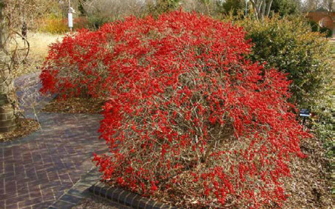 Ilex verticillata 'Red Sprite' and 'Jim Dandy'Winterberry Holly -
