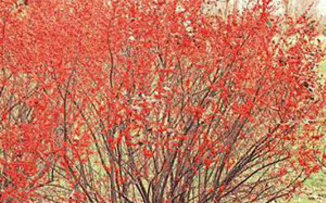 Ilex verticillata 'Sparkleberry' and 'Appollo'Winterberry holly -