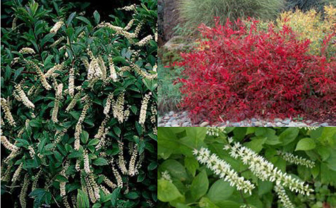 Itea virginica 'Henry's Garnet'Virginia Sweetspire - Mature size: 4-6' W x 3-4' HManage at: 4' WideNotes: Long white flowers in early summer; mounded shrub with elongate leaves; excellent scarlet-red fall color
