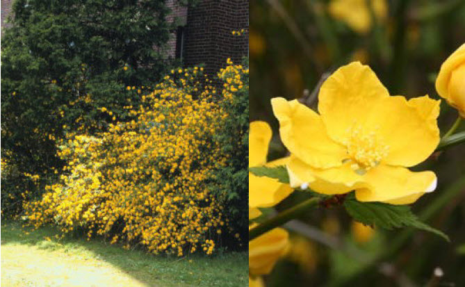 Kerria japonica 'Golden Guinea'Kerria - Mature size: 3-5' W x 3-5' HNotes: Bright yellow flowers on long, green arching stems in spring; stems are attractive in winter