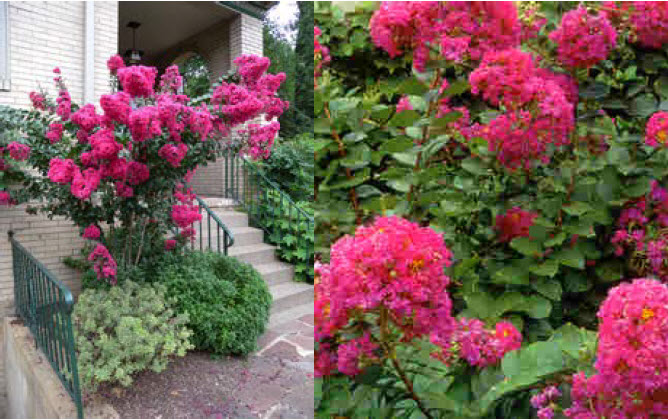 Lagerstroemia 'Pink Velour'Crepe Myrtle - Mature size: 8-10' W x 8-10' HNotes: Upright shrub with hot pink flowers in mid-summer; graceful, arching branching