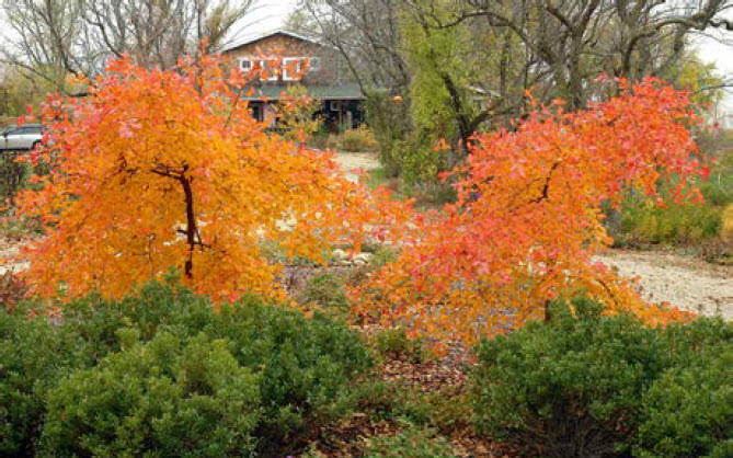 Nyssa 'Autumn Cascade'Autumn Cascade Black Gum - Mature size: 4-6' W x 8-12' HNotes: Dwarf, weeping form of Black Gum;pendulous branches with glossy green leaves; spectacular autumn foliage in shades from orange to red-purple
