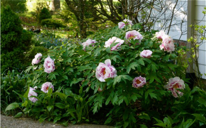 Paeonia suffruticosaTree Peony - Mature size: 3-5' W x 3-5' HNotes: Large showy blooms in late spring in colors ranging from pale yellow, to shades of pink, purple and red; attractive fern-like foliage; disease and pest resistant
