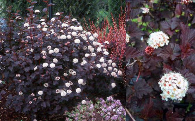 Physocarpus opulifolius 'Diablo'Ninebark - Mature size: 6-8' W x 6-8' HNotes: Showy, dark purple leaves; clusters of pinkish-white flowers in early summer