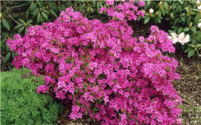 Rhododendron (Azalea - various)Deciduous Azalea - Mature size: 3-4' W x 3-4' HNotes: Compact shrub; showy flowers in spring