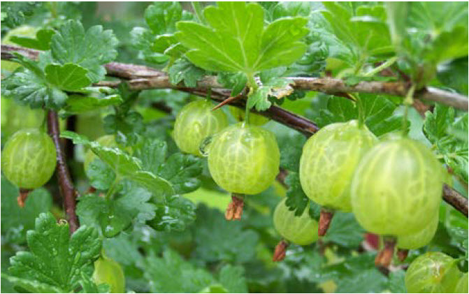 Ribes hirtellumGooseberry - Mature size: 3-5' W x 3-5' HNotes: Less susceptible to White Pine Blister Rust; medium sized shrub with thorns; Green to purple fruit