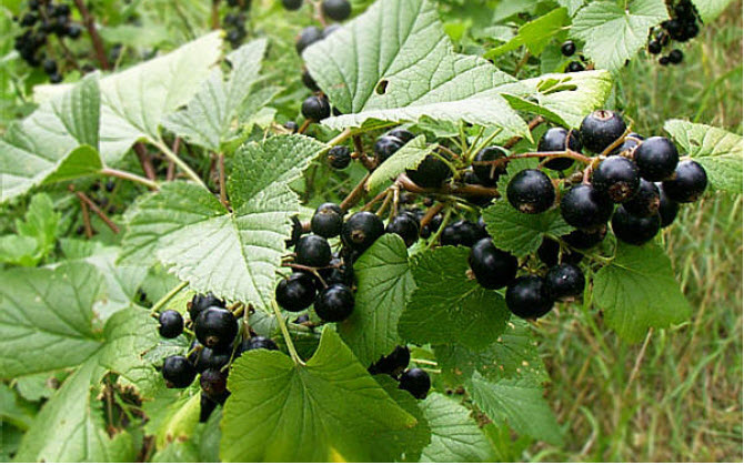 Ribes nigrumBlack Currant - Mature size: 3-5' W x 3-5' HNotes: Host for White Pine Blister Rust - disease resistant varieties available; clusters of dark black fruit