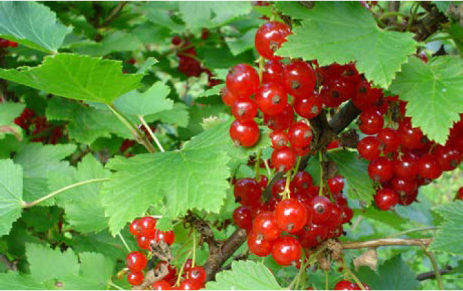Ribes rubrumRed Currant - Mature size: 3-5' W x 3-5' HNotes: Less suceptible to White Pine Blister Rust; clusters of bright red berries