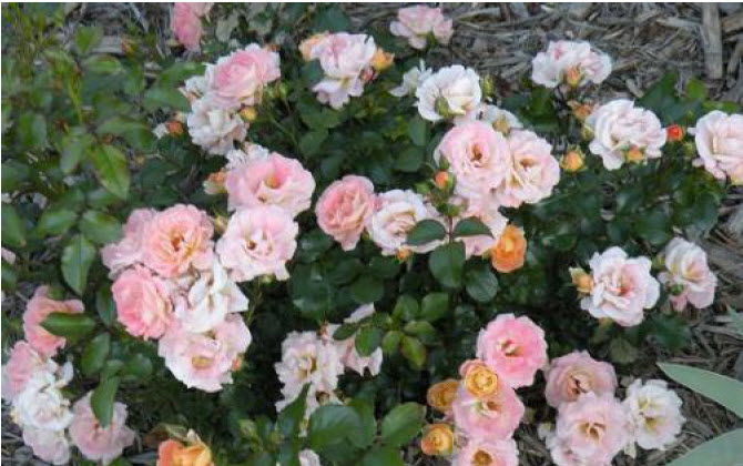 Rosa 'Peach Drift'Peach Drift Rose -