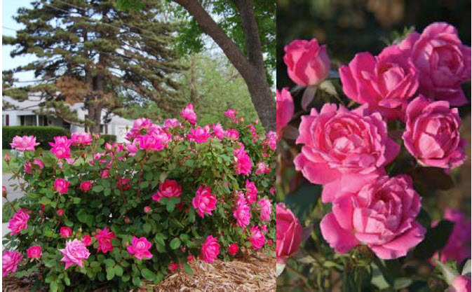 Rosa 'Radtkopak' or 'Pink Double Knockout'Pink Double Knockout Rose -