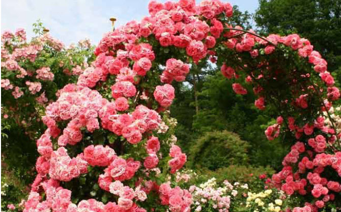Rosa 'Rosarium Uetersen'Climbing Rose - Mature size: 2-5' W x 8-12' HNotes: Stunning clusters of deep pink, old- fashioned rose blooms in summer; fragrance reminiscent of fresh apples; hardy climber