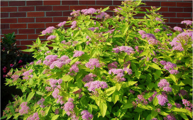 Spirea japonica 'Golden Princess'Spirea -