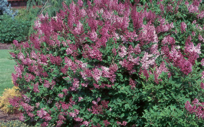Syringa 'Miss Kim'Dwarf Lilac - Mature size: 5-7' W x 4-9' HNotes: Compact, rounded shrub; profuse, lavender blue flowers in late spring; sweetly fragrant;burgundy fall foliage