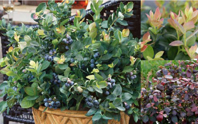 Vaccinium 'Peach Sorbet'Dwarf blueberry - Mature size: 1.5-3' W x 1.5-3' HNotes: Compact shrub with foliage ranging from peach-pink, to lime, to dark green; edible blueberries; good fall color in shades of purple; semi-evergreen