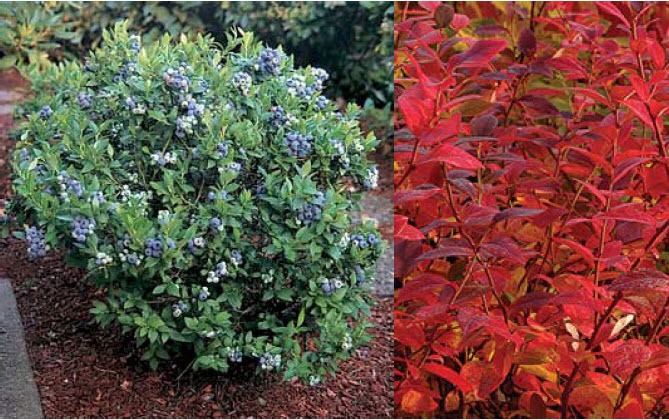 Vaccinium 'Top Hat'Dwarf Blueberry -