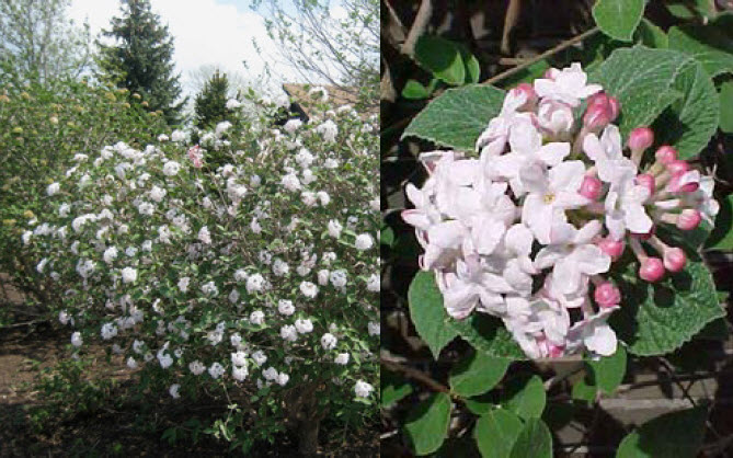 Viburnum carlesiiKoreanspice Viburnum - Mature size: 4-7' W x 4-6' HNotes: Heavily scented, waxy, pale pink flowers in early spring; dark green, oval leaves; reddish- burgundy fall color