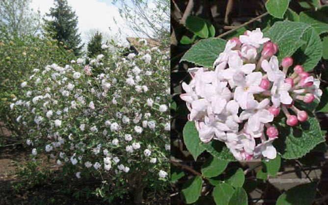 Viburnum carlesii 'Compactum'Koreanspice Viburnum - Mature size: 3-4' W x 3-4' HNotes: Heavily scented, waxy, pale pink flowers in early spring; dark green, oval leaves; reddish- burgundy fall color