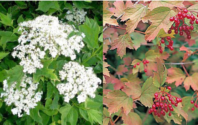 Viburnum opulus 'Compactum'Compact Cranberrybush Viburnum - Mature size: 5-6' W x 4-6' HNotes: Medium sized shrub with attractive greenfoliage; white flowers in early summer; clusters of red fruit in fall; maroon-red fall foliage