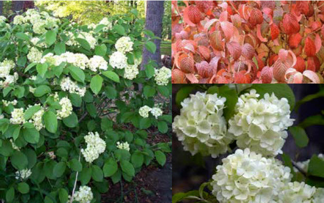 Viburnum plicatum 'Newport'Newport Viburnum - Mature size: 4-5' W x 4-5' HNotes: Large snowball-like clusters of white flowers in late spring; compact, rounded habit; burgundy fall color