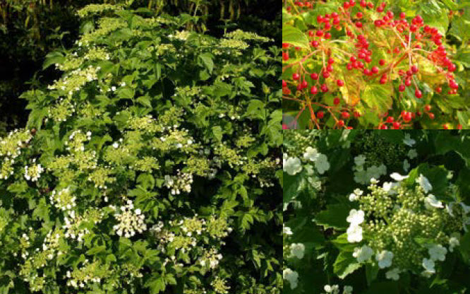 Viburnum sargentii 'Chiquita'Sargent Viburnum - Mature size: 3-4' W x 3-4' HNotes: Compact, mounded shrub; flat whiteclusters of flowers in spring; showy, scarlet redberries; yellow orange fall color