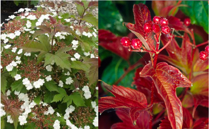 Viburnum sargentii 'Onondaga'Onondaga Viburnum - Mature size: 6-8' W x 6-8' HNotes: Foliage emerges with maroon tones, matures to a deep green; flat clusters of pink tinged flowers in spring; red fruit in fall; good fall color