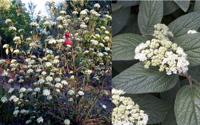 Viburnum x rhytidophylloides 'Alleghany'Leatherleaf Viburnum - Mature size: 10-12' W x 10-12' HNotes: Evergreen, leathery leaves; creamy white flowers in early summer; berries in fall emerge red and mature to glossy black