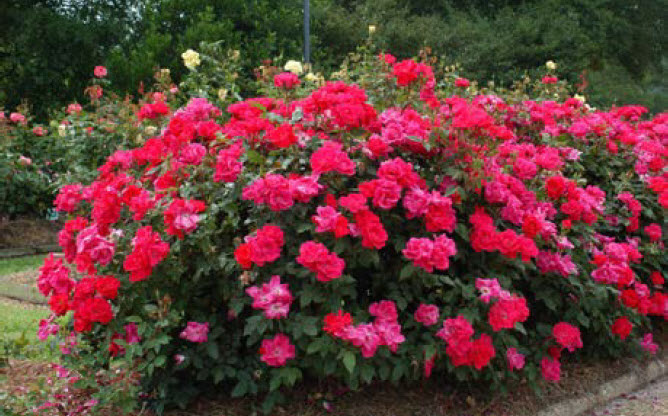 Weigela florida 'Fine Wine'Double Knockout Rose -