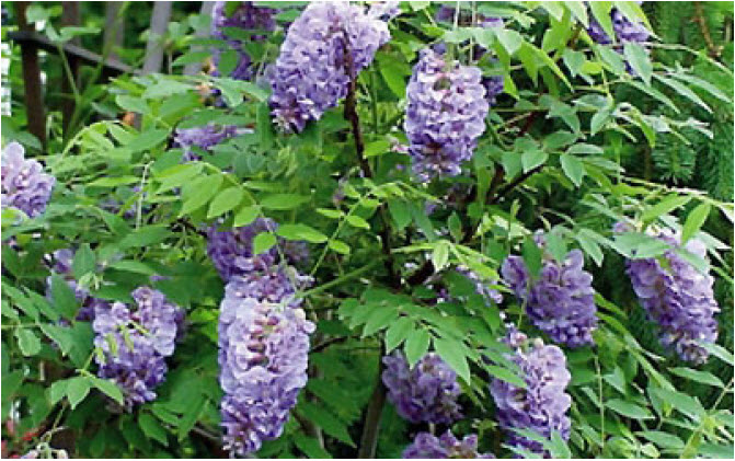 Wisteria frutescens 'Amethyst Falls'Dwarf Wisteria - Mature size: 10-30' W x 10-30' HNotes: Clusters of purple flowers repeating from late spring to summer; strong climbing vine to train on arbor; non-invasive