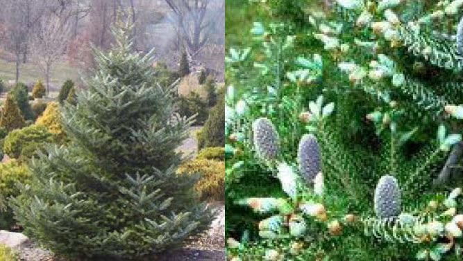 Abies koreanaKorean Fir -