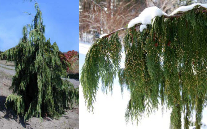Chamaecyparis nootkatensis 'Pendula'Alaskan Weeping Cedar - Mature size: 12-18' W x 30' HNotes: Tall, slender evergreen; blue-green pendulous branchlets on weeping branches; slow growing