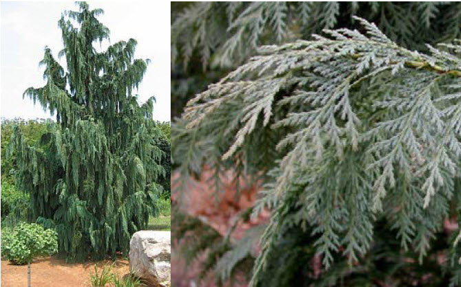 Chamaecyparis nootkatensis 'Pendula Glauca'Blue Alaskan Weeping Cedar - Mature size: 12-18' W x 30' HNotes: Tall, slender evergreen; blue-green pendulous branchlets on weeping branches; slow growing