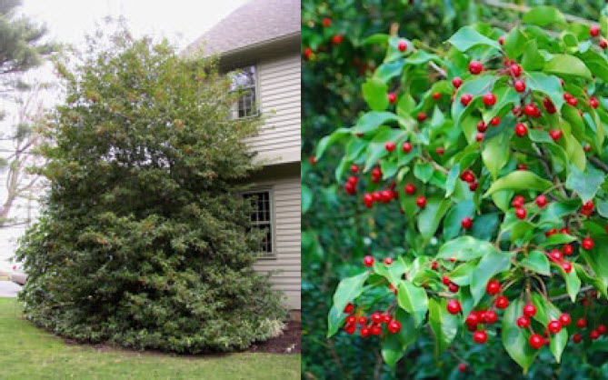 Ilex pedunculosaLongstalk Holly -