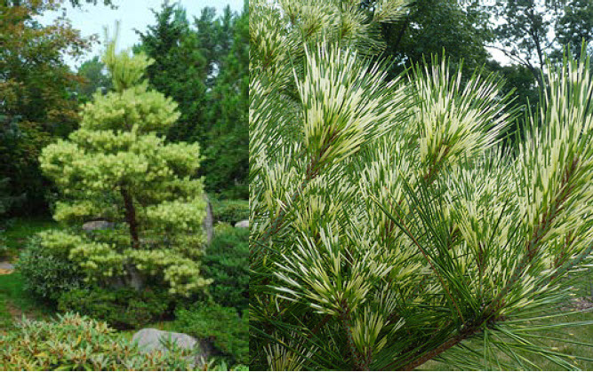 Pinus densiflora 'Oculus Draconia'Dragon's Eye Pine - Mature size: 15-30' W x 30' HNotes: Soft, long-needled pine with a relaxed habit; needles are marked with bands of yellow and green; attractive scaly bark