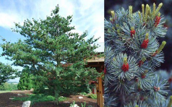 Pinus parviflora var. glaucaBlue Japanese White Pine - Mature size: 25' W x 30' HNotes: Picturesque conifer with open, irregular branching; blue green needles; showy cones