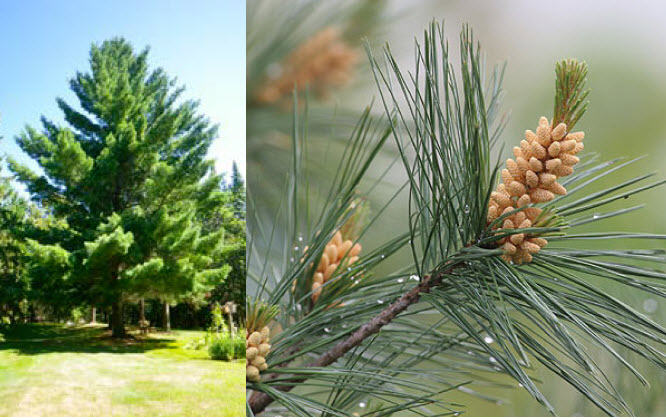 Pinus strobusEastern White Pine - Mature size: 20-35' W x 70-80' HNotes: Pyramidal, evergreen conifer when young; soft, narrow blue-green needles; long brown cones; lovely pine scent in warmer weather