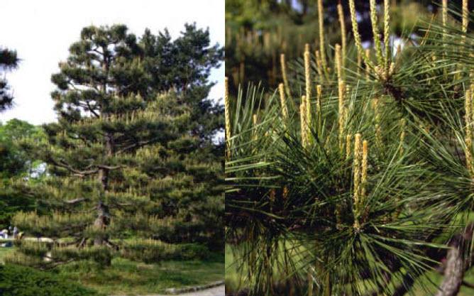 Pinus thunbergiiJapanese Black Pine -