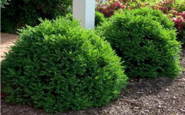 Buxus 'Green Velvet'Boxwood -