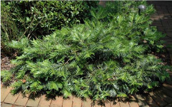 Cephalotaxus 'Prostrata'Japanese Plum Yew -