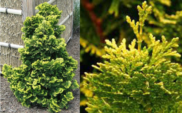 Chamaecyparis obtusa 'Verdoni'Golden Hinoki Cypress -