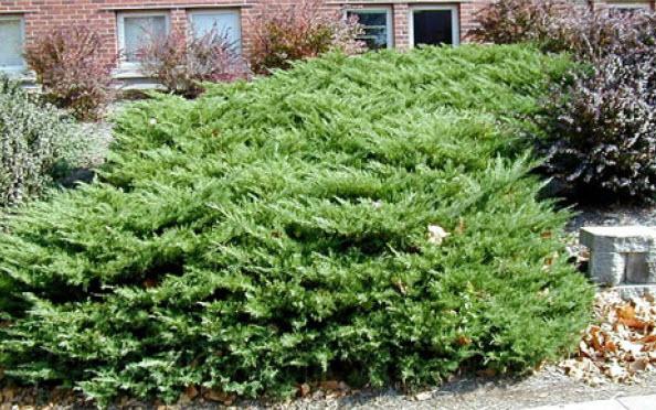 Juniperus chinensis 'Nick's Compact'Juniper -