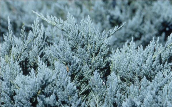 Juniperus horizontalis 'Blue Chip'Creeping Juniper -