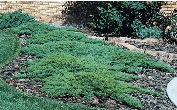 Juniperus sabina 'Broadmoor'Juniper -