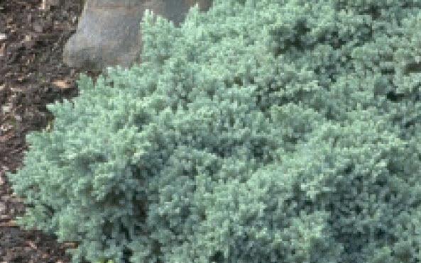 Juniperus squamata 'Blue Star'Singleseed Juniper -