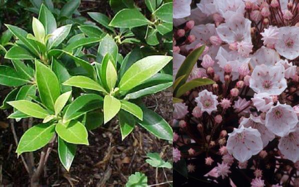 Kalmia latifolia 'Elf'Dwarf Mountain Laurel -