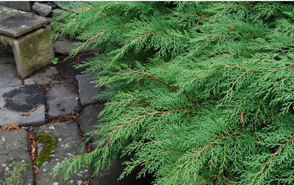 Microbiota decussataSiberian Cypress -
