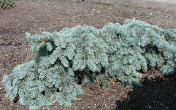 Picea 'Blue Wave'Blue Wave Blue Spruce -