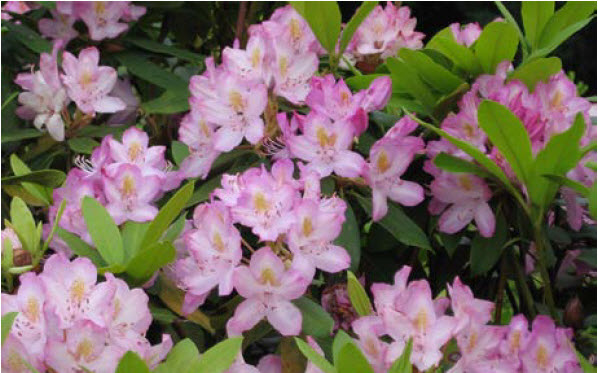 Rhododendron maximum 'Roseum'Pink Max Rhododendron -