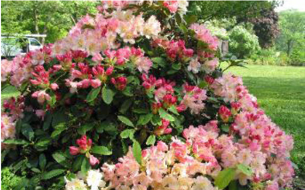 Rhododendron 'Percy Wiseman'Rhododendron -