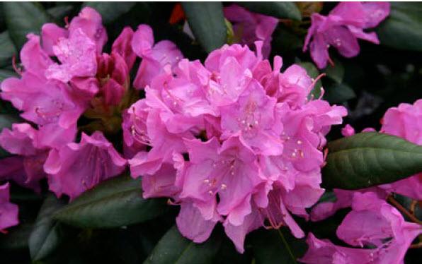 Rhododendron 'Roseum Elegans'Rhododendron -